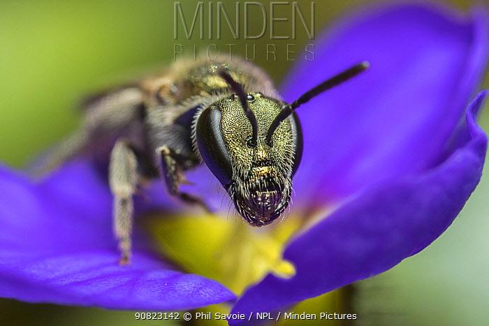 Smeathman's furrow bee (Lasioglossum smeathmanellum), Monmouthshire, Wales, UK, April.