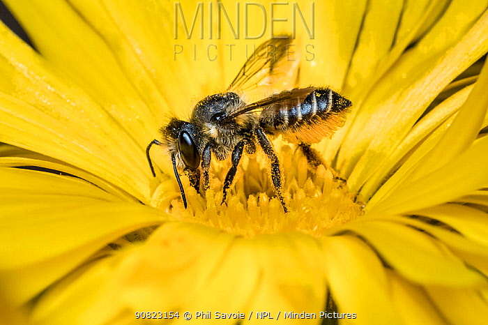 Patchwork leafcutter bee (Megachile centuncularis) feeding from Common marigold (Calendula officinalis) Monmouthshire, Wales, UK. April