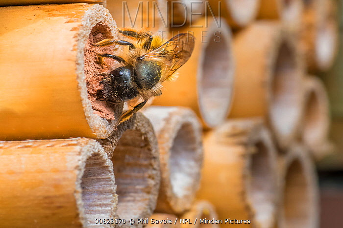 Red mason bee (Osmia bicornis) female bee sealing off brood cells with mud Monmouthshire, Wales, UK. May.