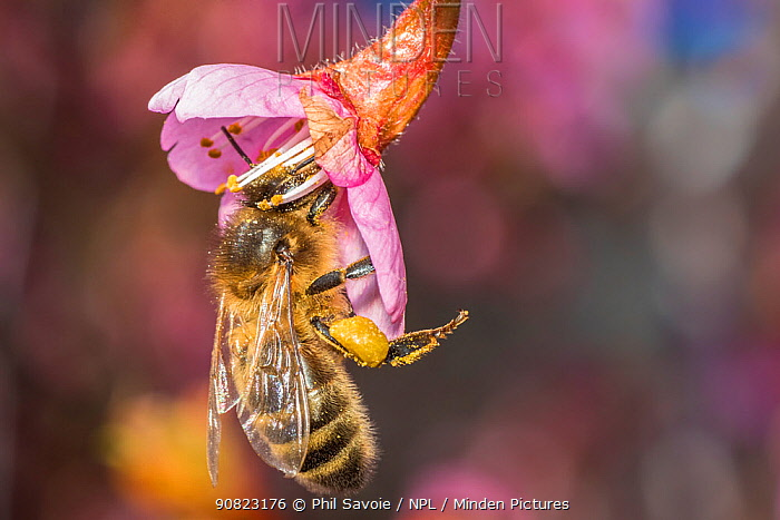 European honey bee (Apis mellifera), feeding on Cherry blossom (Prunus sp.), Monmouthshire, Wales, UK. June