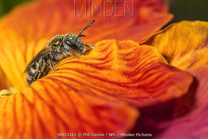 Smeathman's furrow bee (Lasioglossum smeathmanellum), feeding on Wallflower (Erysimum sp.) Monmouthshire, Wales, UK. April
