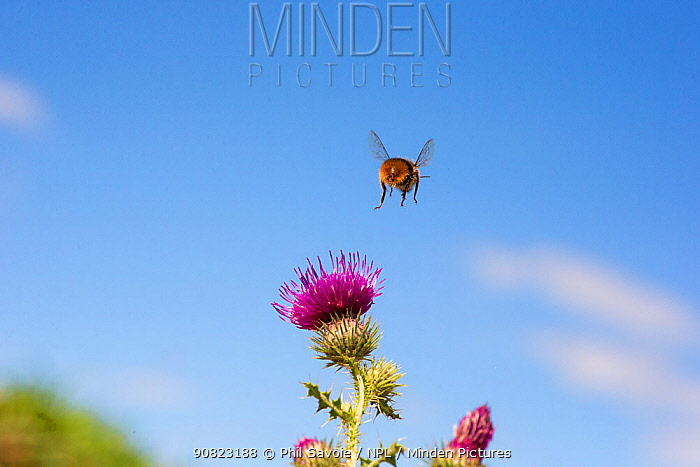 Red tailed bumblebee (Bombus lapidarius) male flying to Spear thistle (Cirsium vulgare), Monmouthshire, Wales UK, August. May