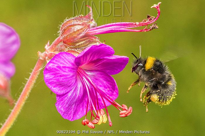 Early bumblebee (Bombus partorum),feeding on Hardy geranium (Geranium sp.), flower, Monmouthshire, Wales, UK. May.
