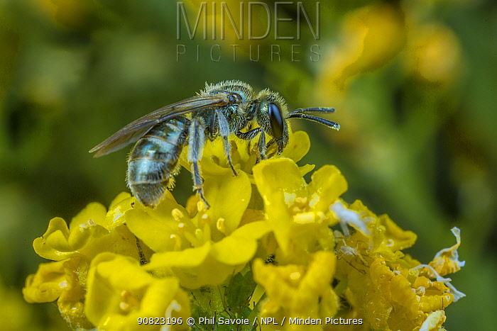 Smeathman's furrow bee (Lasioglossum smeathmanellum) tiny bee feeding on pollen on flowers, Monmouthshire, Wales, UK. March