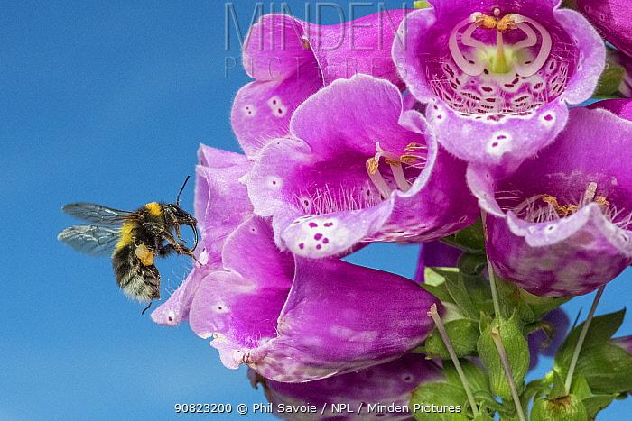 Garden bumblebee (Bombus hortorum) female flying to Foxglove (Digitalis purpurea) Monmouthshire, Wales, UK. March