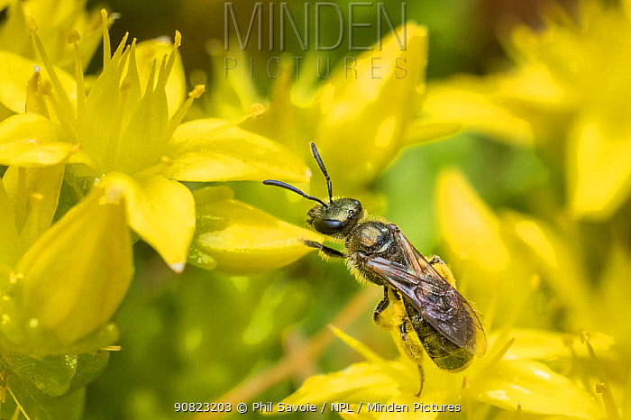Smeathman's furrow bee (Lasioglossum smeathmanellum), feeding from Biting stonecrop (Sedum acre) Monmouthshire, Wales, UK. June.