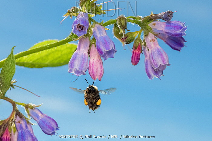 Early bumblebee (Bombus partorum) feeding on Comfrey (Symphytum officinale), Monmouthshire, Wales, UK. May.