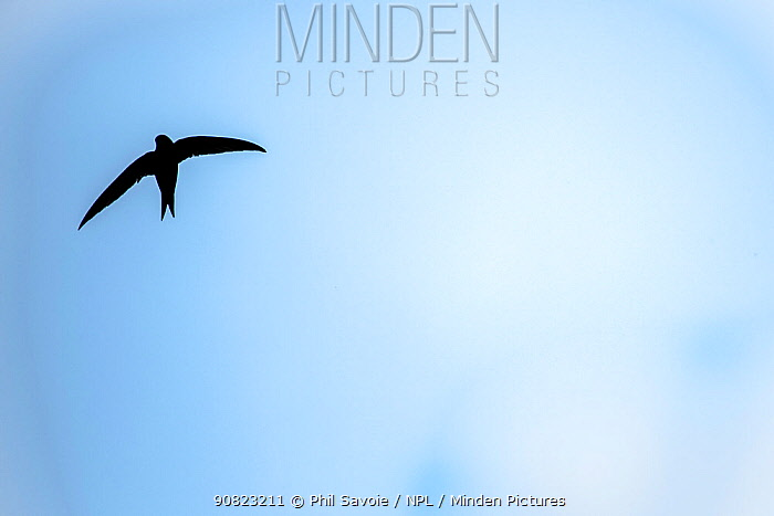Swift (Apus apus) in flight with blue cloudy sky, Monmouthshire, Wales, UK. July