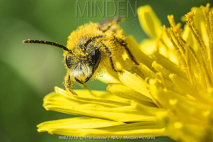 Grey-patched mining bee (Andrena nitida), feeding on Dandelion (Taraxacum offinicale) Monmouthshire, Wales, UK. June