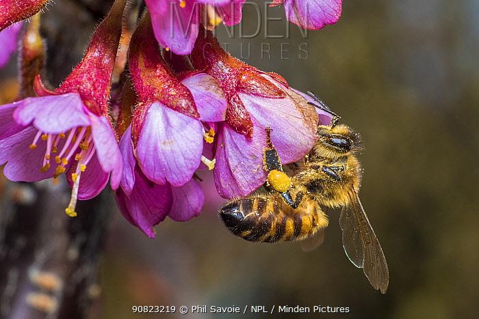 European honey bee (Apis mellifera),feeding on Cherry blossom (Prunus sp.), Monmouthshire, Wales, UK. March