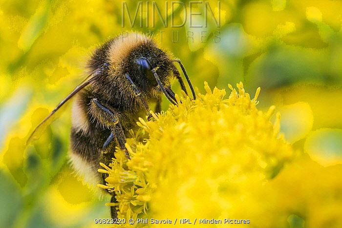 Buff tailed bumblebee (Bombus terrestris) feeding on Goldenrod (Solidago sp.), Monmouthshire, Wales, UK. September.
