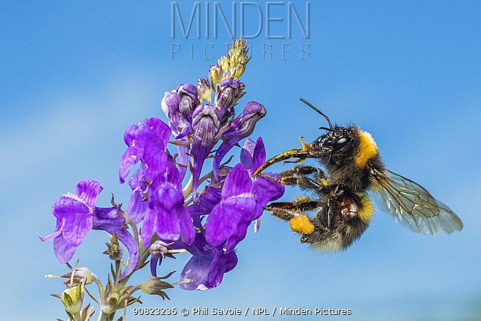 Garden bumblebee (Bombus hortorum), on Purple toadflax (Linaria purpurea), Monmouthshire, Wales, UK. June.
