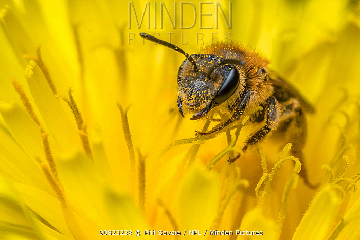 Chocolate mining bee (Andrena scotica) feeding on Dandelion (Taraxacum offinicale) Monmouthshire, Wales, UK. May