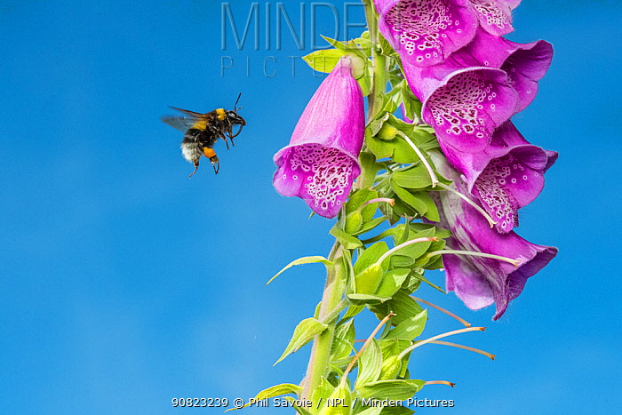 Garden bumblebee (Bombus hortorum) worker flying to Foxglove (Digitalis purpurea) Monmouthshire, Wales, UK, June.