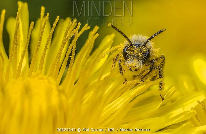 Ashy mining bee (Andrena cineraria) male feeding on Dandelion (Taraxacum officinale) Monmouthshire, Wales, UK.