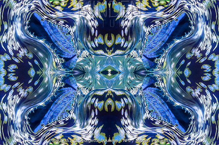 Kaleidoscopic image of a clam's siphon. North Sulawesi, Indonesia. Indo-West Pacific.