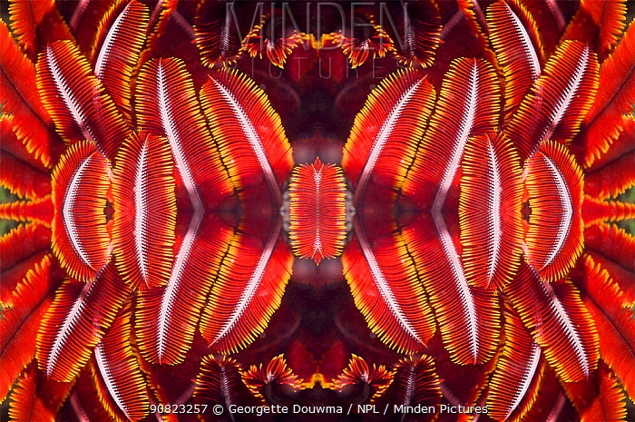 Kaleidoscopic image of crinoids or feather stars. Indonesia.