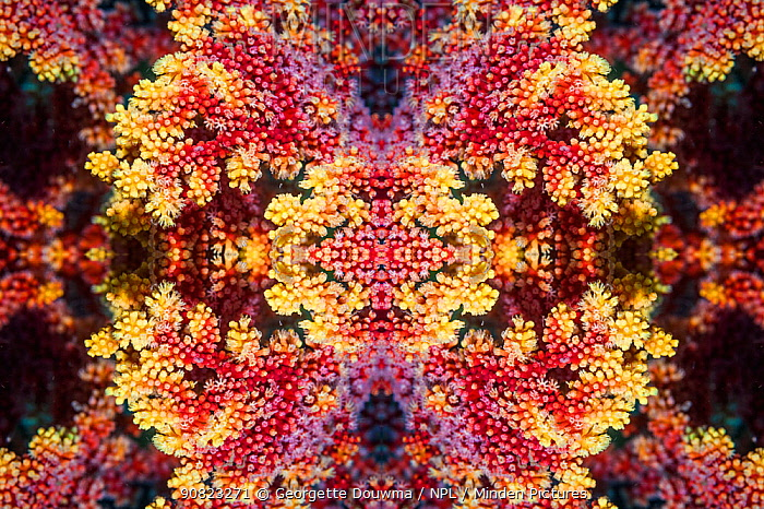 Kaleidoscopic image of soft coral. West Papua, Indonesia.