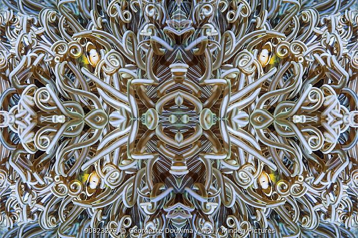 Kaleidoscopic image of Clark's anemonefish (Amphiprion clarkii), Ambon, Indonesia.