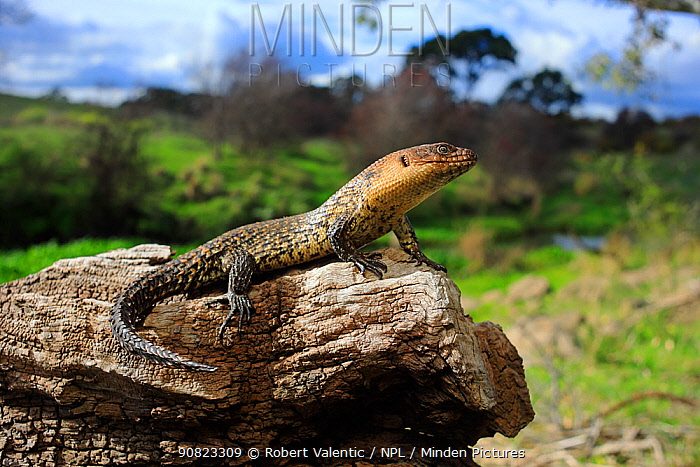Cunningham's skink (Egernia cunninghami) basking at midday, Merri Creek on the northern fringe of metropolitan Melbourne, Victoria, Australia. October. Controlled conditions.