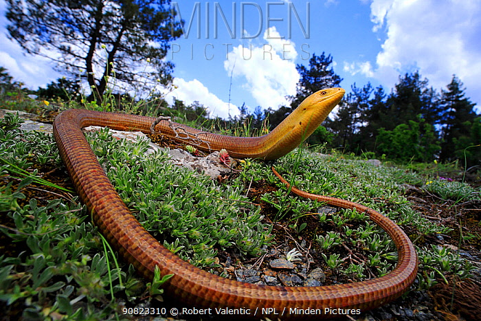 European legless lizard (Pseudopus apodus thracius) male in a forest clearing in the Dadia Forest, Thrace district , Greece, August. Controlled conditions.