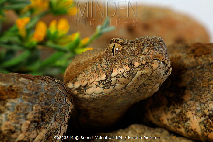 Milos Viper (Macrovipera schweizeri) from the western side of Milos Island, Greece, July. Controlled conditions.