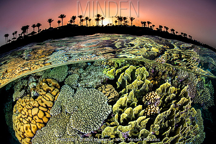 RF - Split level photo of a coral reef with hard corals (Acropora sp., Millepora sp. and Pocillopora sp.) and the shore with palm trees, at sunset. Red Sea