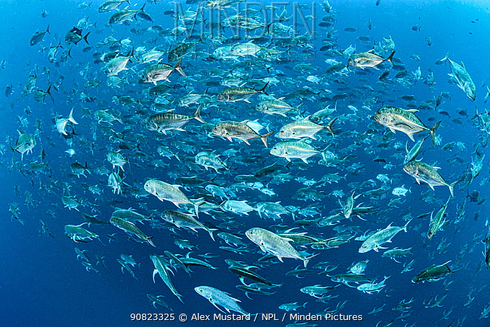 RF - A school of adult Giant trevally (Caranx ignobilis) swimming near a coral reef. Red Sea