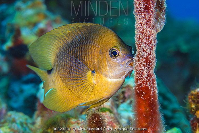 Three spot damselfish (Stegastes planifrons) guards his eggs. East End, Grand Cayman, Cayman Islands, British West Indies. Caribbean Sea.