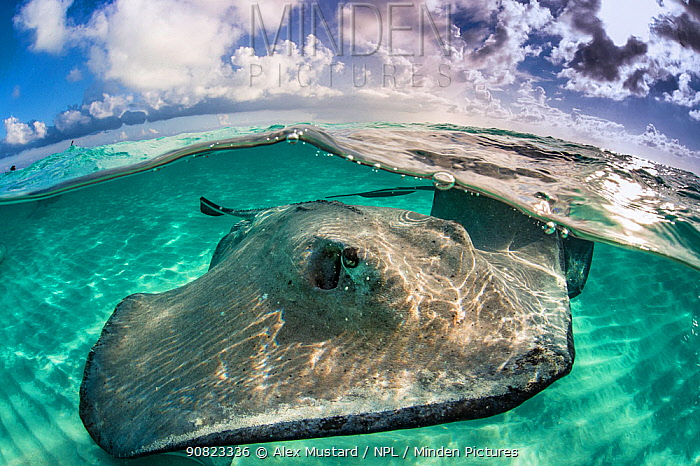 A split level photo of a female southern stingray (Dasyatis americana) swimming over seabed. Grand Cayman, Cayman Islands. British West Indies. Caribbean Sea.