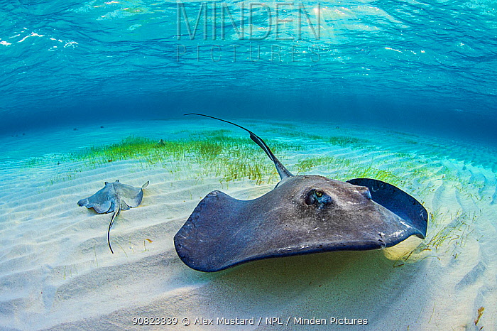 Southern stingrays (Dasyatis americana) in shallow water. with sun rays. Grand Cayman, Cayman Islands. British West Indies. Caribbean Sea.
