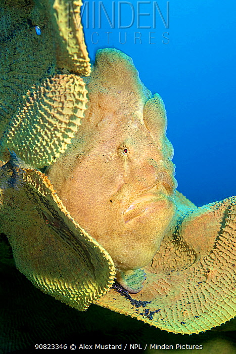 Portrait of a Giant frogfish (Antennarius commersoni) on a large Yellow elephant ear sponge (Ianthella basta) on a coral reef. Bitung, North Sulawesi, Indonesia. Lembeh Strait, Molucca Sea.