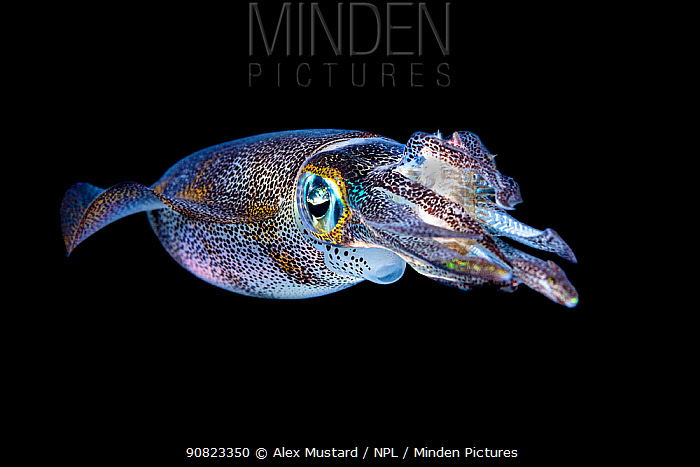 Bigfin reef squid (Sepioteuthis lessoniana) with a captured rabbitfish (Siganus sp.) in its arms, at night. ;Bitung, North Sulawesi, Indonesia. Lembeh Strait, Molucca Sea.
