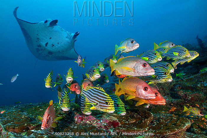Reef manta (Mobula alfredi) visiting a cleaning station on a coral reef with a school of Onespot snappers (Lutjanus monostigma), Oriental sweetlips (Plectorhinchus vittatus) and Sabre squirrelfish (Sargocentron spiniferum). South Ari Atoll, Maldives. Indian Ocean.