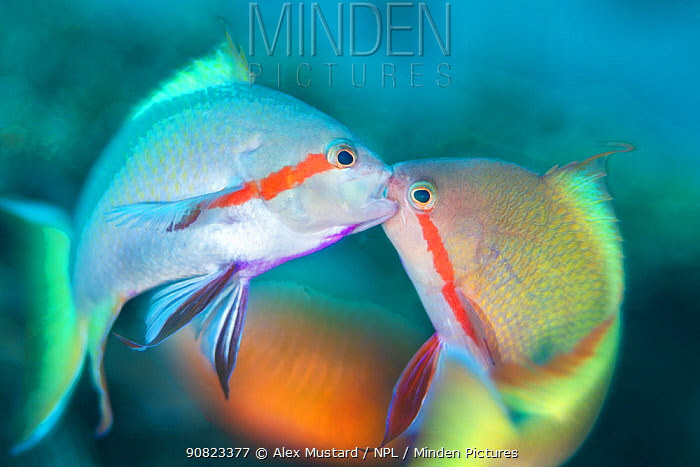 Threadfin anthias (Pseudanthias huchti) males locking jaws as they fight over territory on a coral reef. Dauin, Dauin Marine Protected Area, Dumaguete, Negros, Philippines. Bohol Sea, tropical west Pacific Ocean.