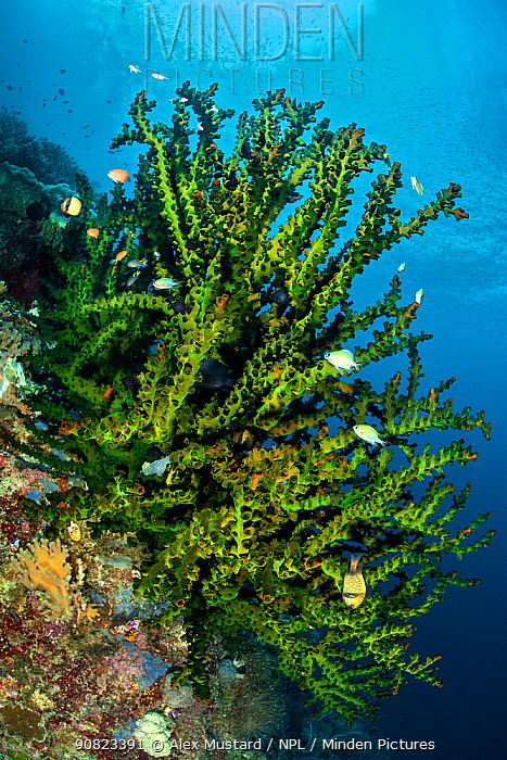 Large green branching coral (Tubastrea sp.) with damselfish on a coral reef. Misool, Raja Ampat, West Papua, Indonesia. Misool Marine Protected Area. Ceram Sea. Tropical West Pacific Ocean.