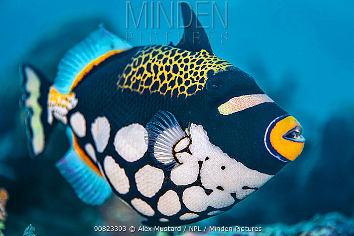 A portrait of a clown triggerfish (Balistoides conspicillum) on a coral reef. Misool, Raja Ampat, West Papua, Indonesia. Misool Marine Protected Area. Ceram Sea. Tropical West Pacific Ocean.
