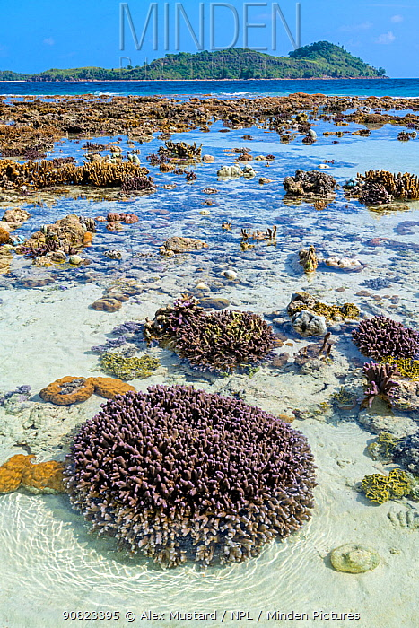 Hard coral reef (Porites sp.) exposed by a low spring tide in front of an island. Yillet Island, Misool, Raja Ampat, West Papua, Indonesia. Ceram Sea. Tropical West Pacific Ocean.