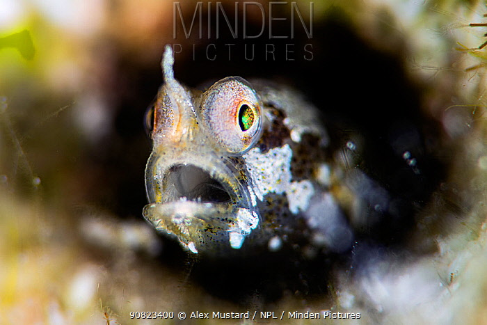 A portrait of a tiny Unicorn goby (Cerogobius petrophilus). Gubal Island, Egypt. Red Sea.