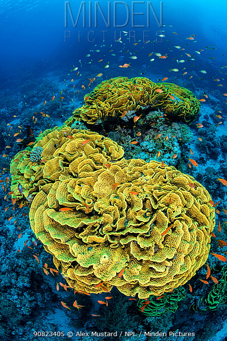 Yellow cabbage coral (Turbinaria reniformis) growing on a coral reef, surrounded by scalefin anthias: Pseudanthias squamipinnis. Ras Mohammed National Park, Sinai, Egypt. Red Sea
