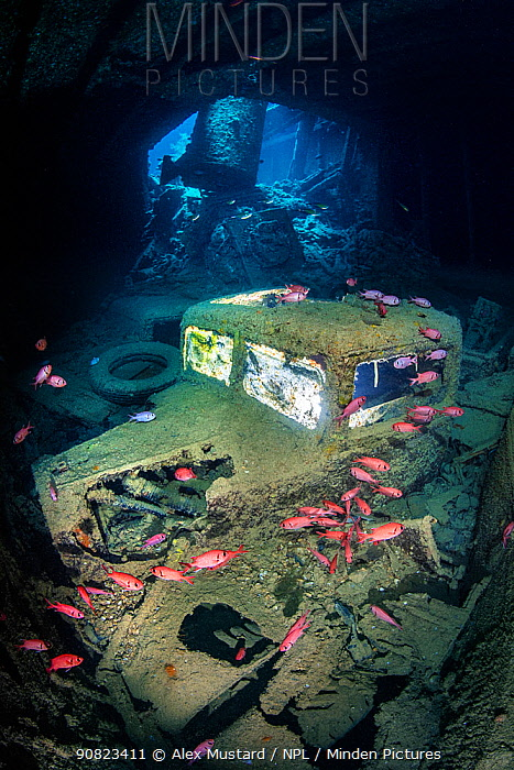 A British World War II Ford (Fordson) WOT3 truck inside the lower level of the hold (hold 2, port side) of the SS Thistlegorm wreck, with Red Sea soldierfish (Myripristis murdjan). Sha'ab Ali, Sinai, Egypt. Red Sea.