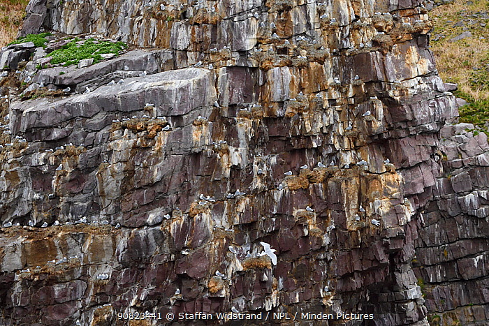 Kittiwake colony (Rissa tridactyla) on cliffs, Syltefjordstauran, Varanger peninsula, Arctic Norway