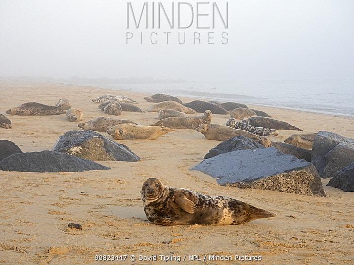 Grey seal (Halichoerus grypus) colony on beach, North Norfolk, England, UK, January