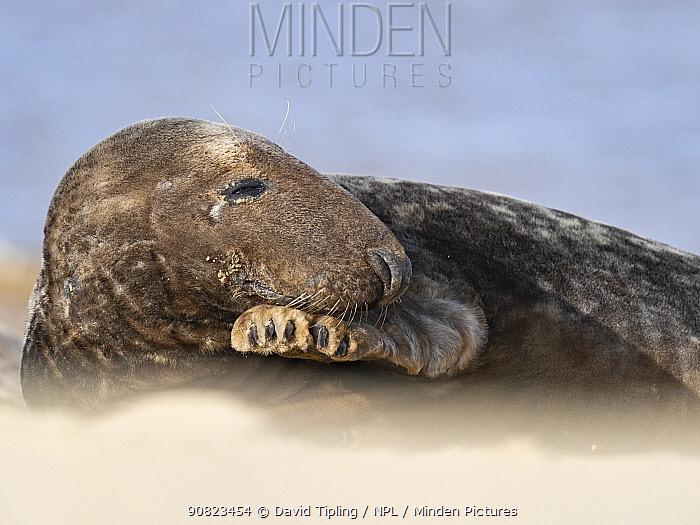 Grey seal (Halichoerus grypus) male, North Norfolk, England, UK, March.