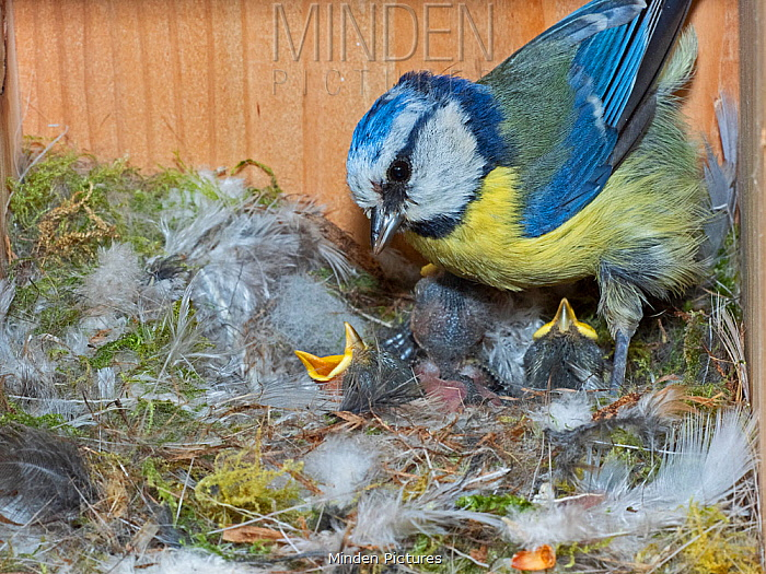 Blue tit (Cyanistes caeruleus) feeding young in nest box in garden, Norfolk, England, UK, May.