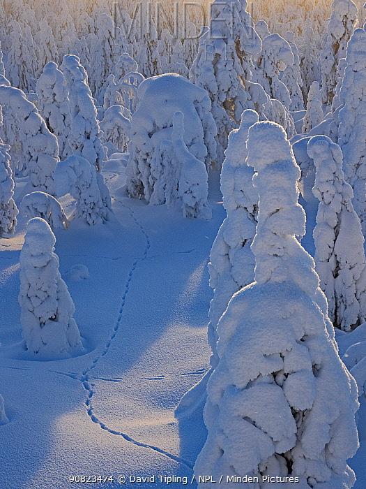 Mountain hare (Lepus timidus) footprints in snow, among Spruce trees cloaked in snow Ruka Peak, Kuusamo, Finland. January.