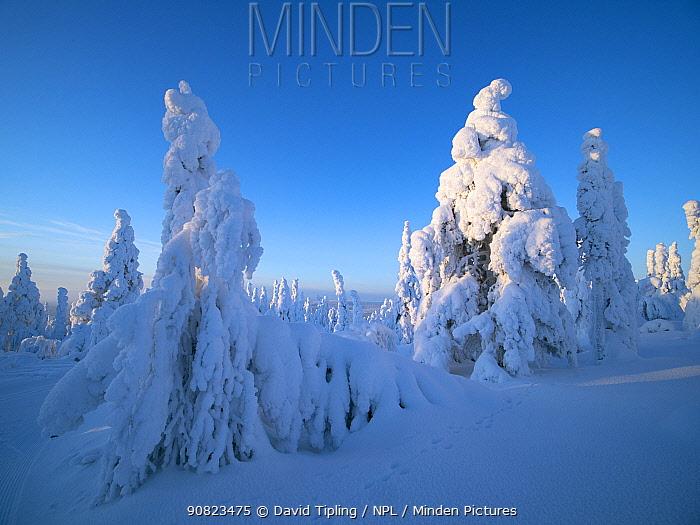 Spruce trees cloaked in snow Ruka Peak, Kuusamo, Finland. January.