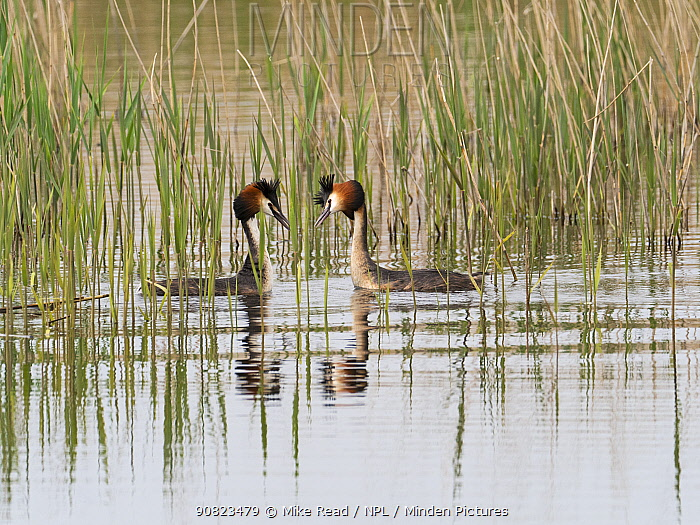 Great crested grebe (Podiceps cristatus) pair displaying, Ham Wall RSPB Reserve, part of the Avalon Marshes, Somerset Levels and Moors, England, UK, April.