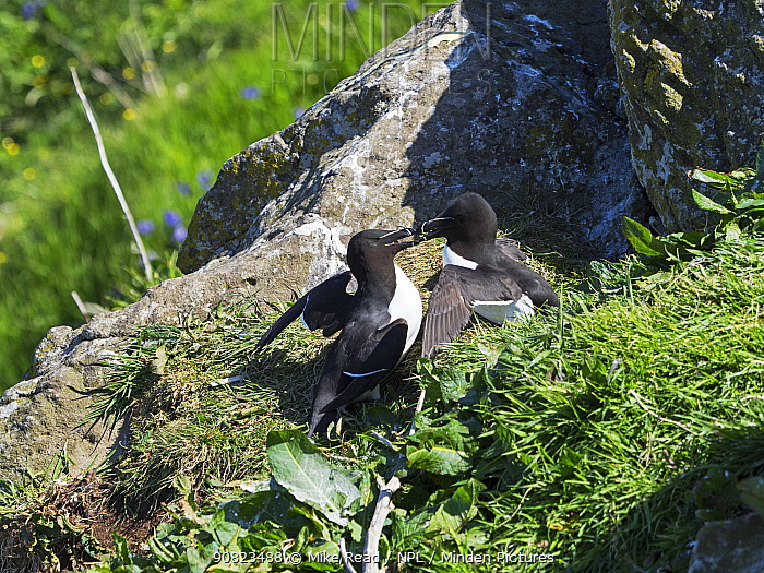 Razorbill (Alca torda) two fighting for nesting location on a grassy cliff top, Lunga Island, Treshnish Isles, Inner Hebrides, Scotland, UK, May.