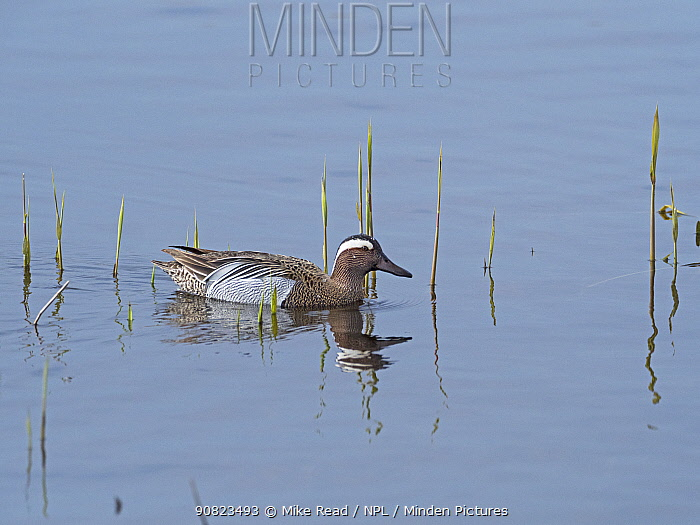 Garganey (Anas querquedula) male in a reedbed pool, Ham Wall RSPB Reserve, part of the Avalon Marshes, Somerset Levels and Moors, England, UK, April.